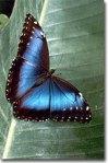 come farfalla