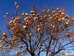 Una poesia sui cachi civuoleunfiore for Albero di cachi
