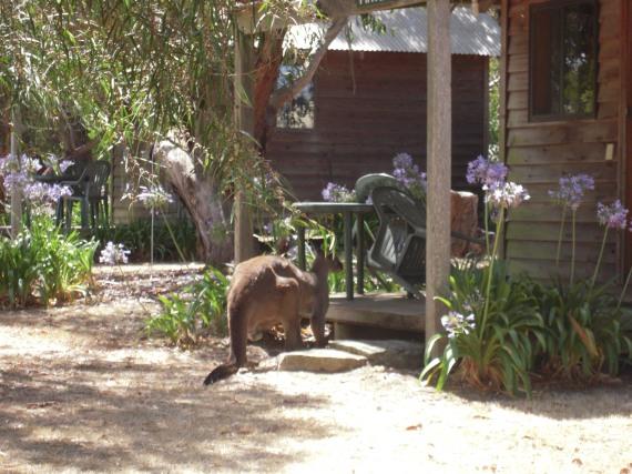 canguro in libertà