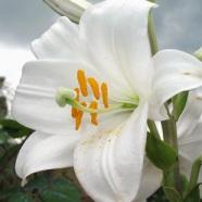 giglio-fiore