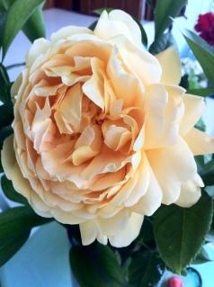 profumatissima rosa