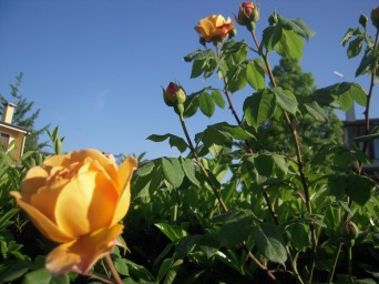 amata rosa gialla