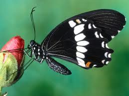 farfalle nere e bianche
