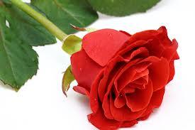 rosa di santa Rita