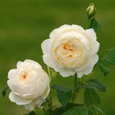 cespo di rose