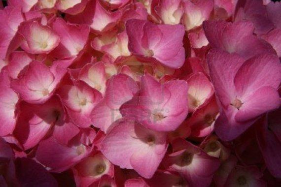 7562505-macro-fotografia-di-ortensie-le-sfumature-di-colore-dei-fiori-viola-e-blu-fioriscono-in-primavera-co