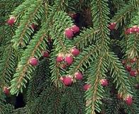 pino nel bosco