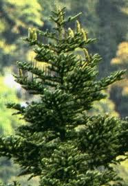 pino per l'albero di Natale