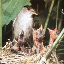 capinera nido