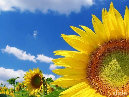 fiore del sole