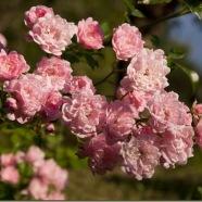 ramo di rose
