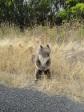 Cape Otwai (Koala)