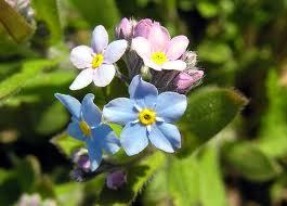 fiore non ti scordar di me